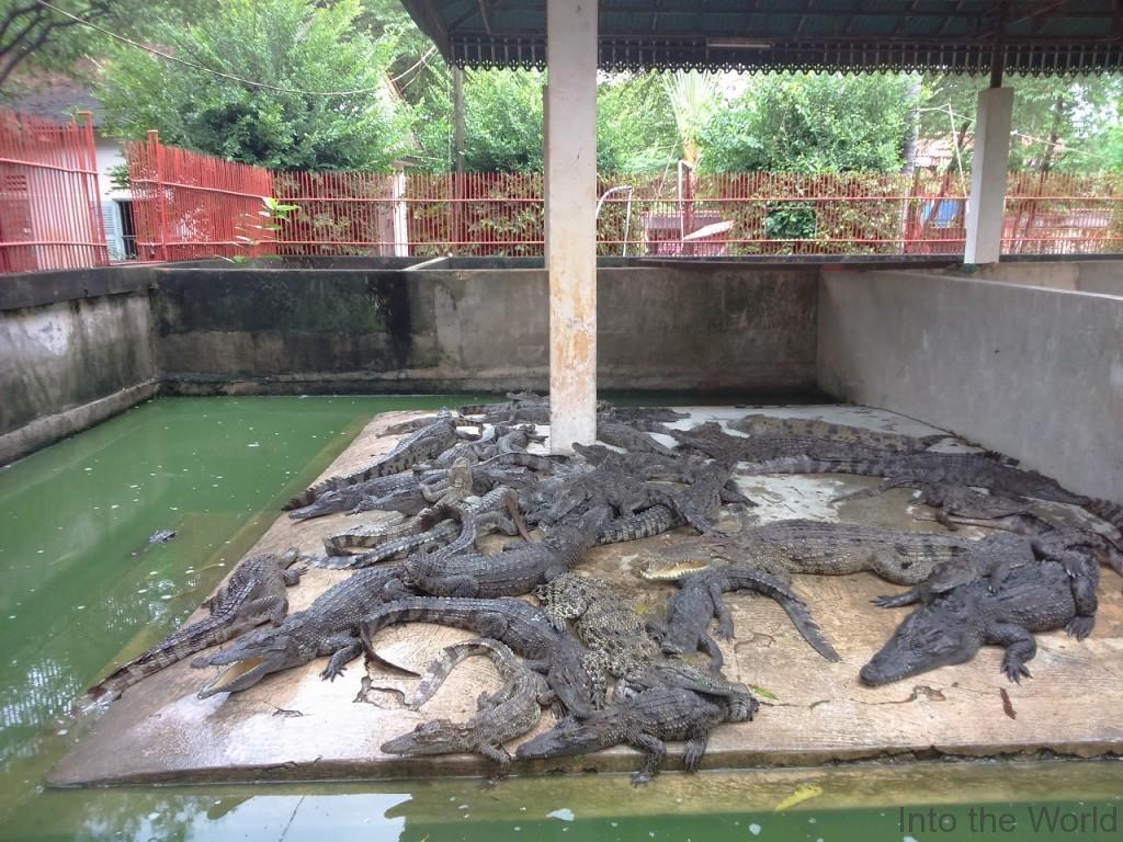 crocodile_10
