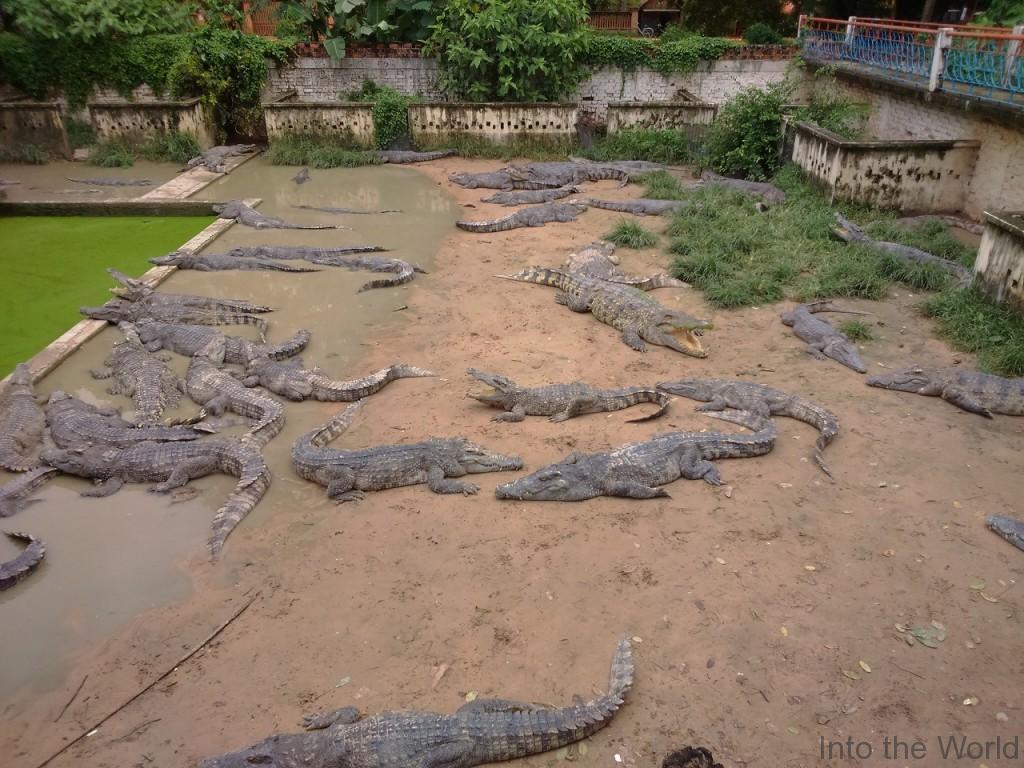 crocodile_12