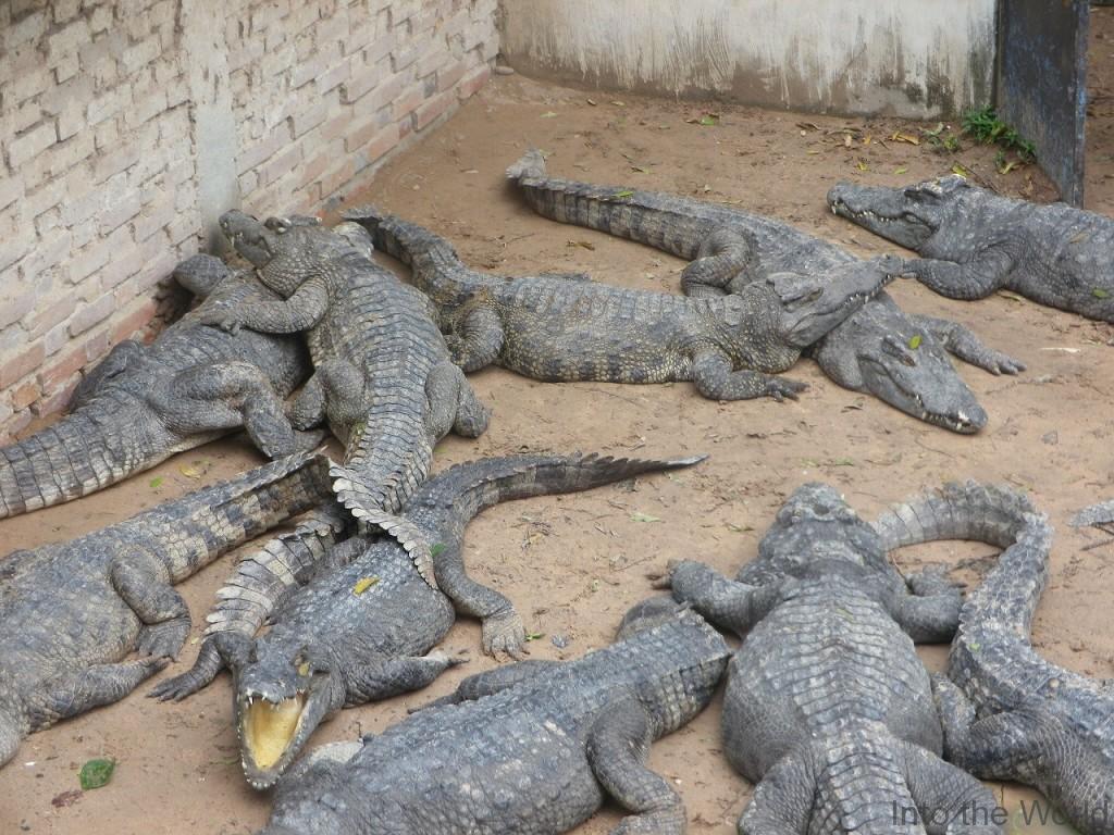 crocodile_13