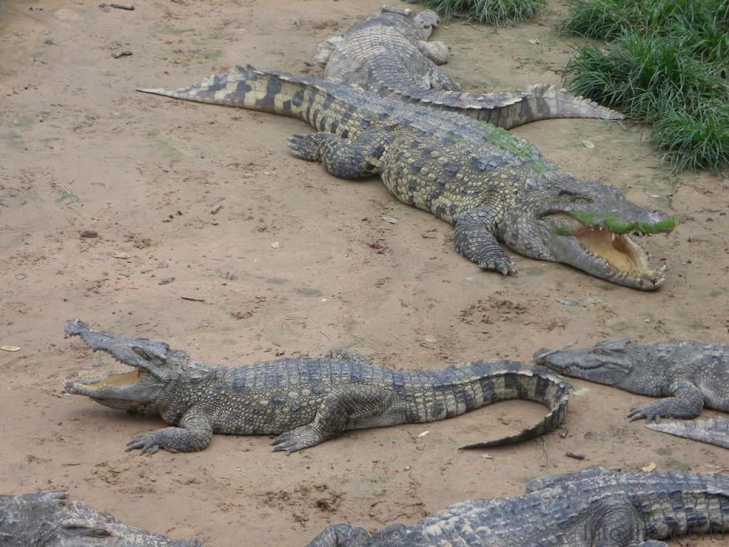 crocodile_14