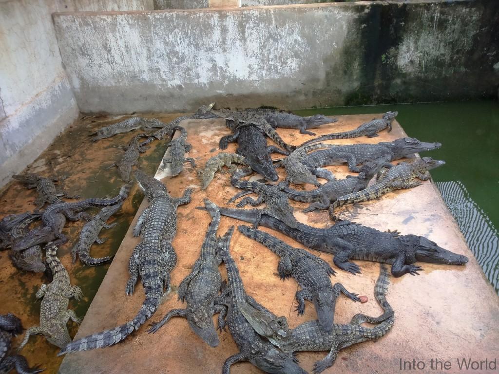 crocodile_9